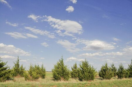 line of Fir Trees and Beautiful Sky