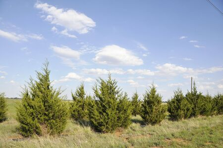 line of fir trees Stock Photo
