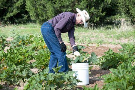 Ninety-One year old farmer gathering squash