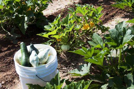 Bucket of Squash and Squash Plants Stock Photo