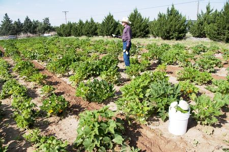 Ninety-One year old Farmer working his Squash Garden photo