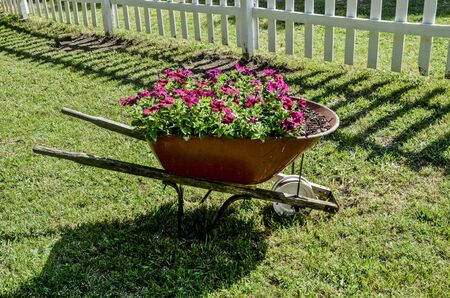 Red Flowers in Wheel Barrow along side of a white picket fence photo