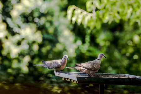 Two doves preparing to eat in the bird feeder