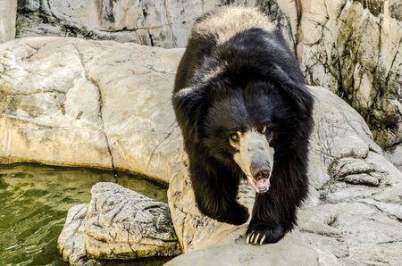 Black bear close-up at zoo