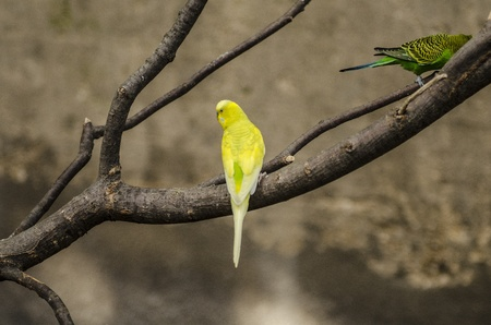 A yellow and a green finch in tree Stock Photo