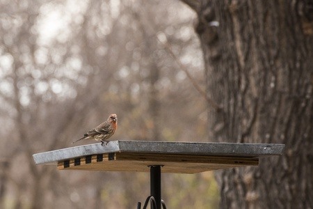 House Finch eating seeds at the bird feeder