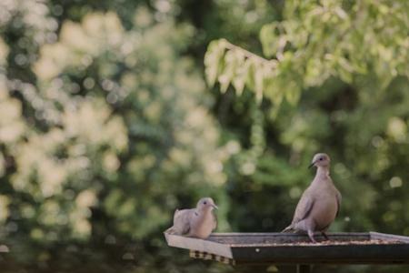 Doves On Birdfeeder