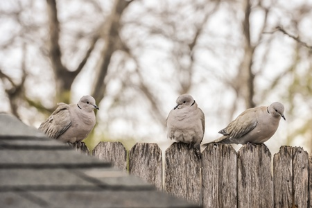 Isolated view of three doves on a wooden fence