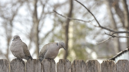 Two doves on wooden fence
