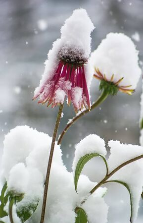 desolaci�n: Snow falls on the purple flowers and green plants. First snow.