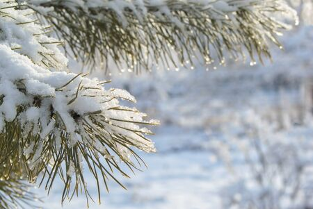 evergreen trees: A branch of a tree covered with snow. Day.
