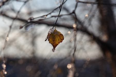 birch leaf: Winter.The lonely birch leaf covered with icicles. Stock Photo