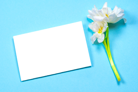 Empty white sheet of paper on a blue background, next to it lies a beautiful white tulip and an ink pen. Place for inscription.