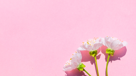 Sakura blossom on pink pastel background, spring flowers.  Place for your design.