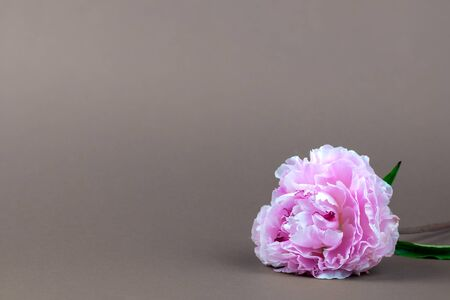 Beautiful pink peony on a gray background, minimalism concept, place for text. Greeting card.