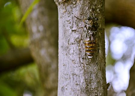 cicada bug: cicada on the tree