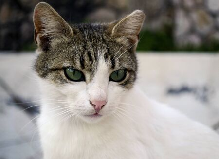green eyes: a beautiful cat with green eyes