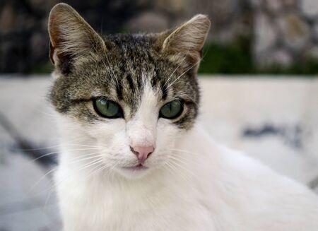 eyes green: un gato hermoso con los ojos verdes