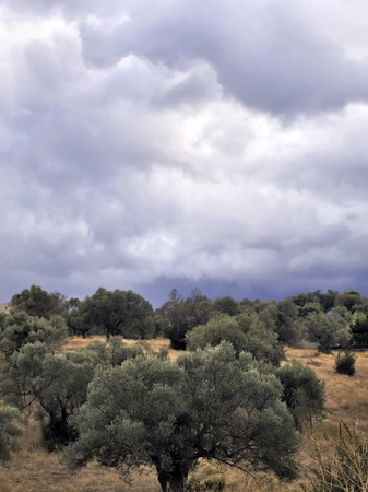 cloudy sky: olive trees and a cloudy sky Stock Photo
