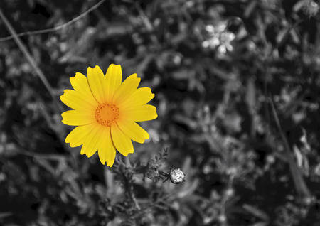 yellow margaret in black and white background photo