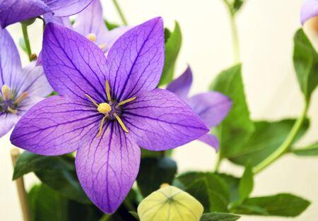 flor violeta: flor morada