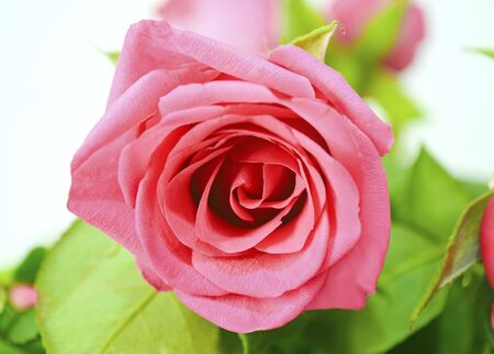 vibrance: close up of a pink rose Stock Photo