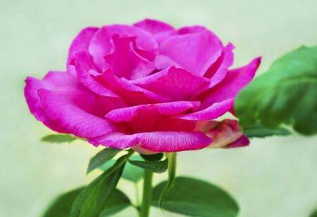 angled view: angled view of a pink rose Stock Photo
