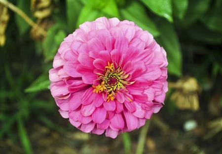 vibrance: pink flower