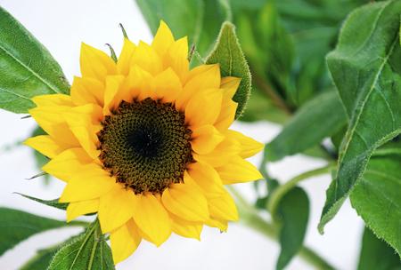 vibrance: yellow sunflower - helios Stock Photo
