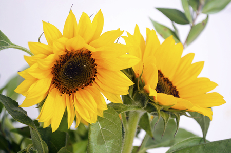 vibrance: yellow sunflower - helios Stock Photo