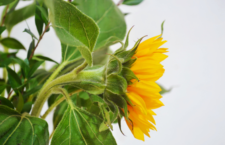 angle view: angle view of a yellow sunflower - helios