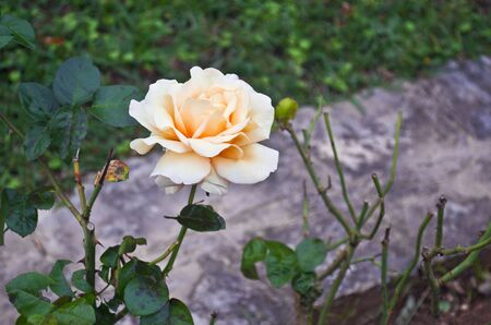 orange rose: white and orange rose in the nature