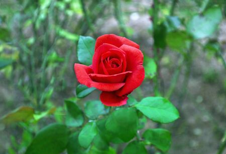 vibrance: blooming red rose in the nature