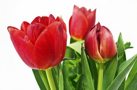 red tulips: red tulips flower bouquet - red flowers green leaves Stock Photo