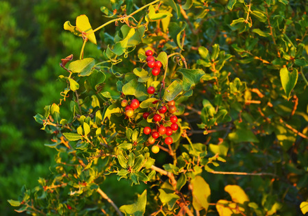 winterberry: winterberry christmas plant with red berries - red plants - nature photo texture