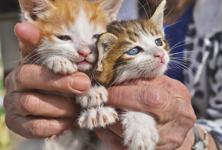 animal body part: old woman holds her kittens - close up of two beautiful cats with blue eyes