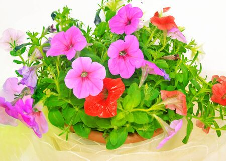 petunias: flower pot with colorful petunias flowers
