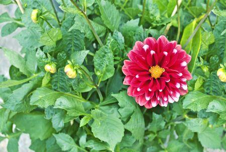 dahlia flower: blooming pink dahlia flower - flower photo texture Stock Photo