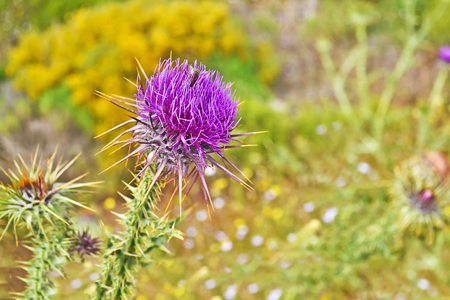 close up of a purple thistle flower with a bee