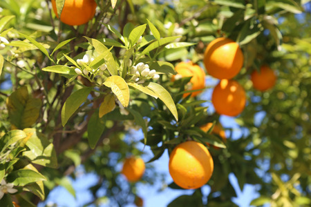 fresh oranges on the tree - blooming spring nature - healthy diet fruits Stock Photo
