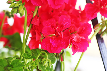 wet geranium flowers - pink geraniums with raindrops - spring flowers nature