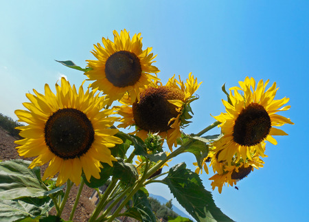 blooming yellow sunflowers with big petals - helios flower with blue sky background