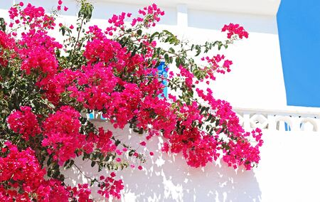 traditional house with pink bougainvilleas at Koufonisia islands Cyclades Greece