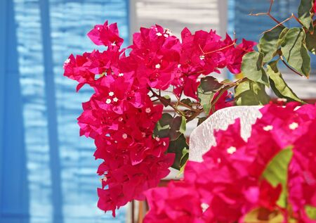 close up of blooming bougainvillea flower at Koufonisia islands Cyclades Greece - turquoise door background