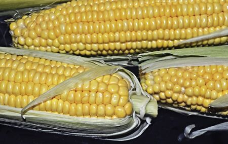 close up of fresh yellow corn cobs on the table