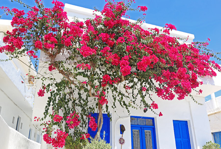 blooming bougainvillea flowers at Ano Koufonisi island Cyclades Greece - Koufonisia Greece