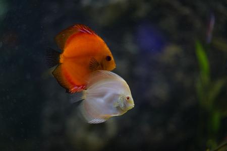 discus: Discus fish in a salt water aquarium