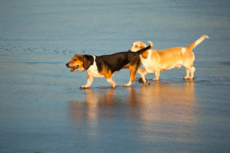 basset: two basset hounds by sea