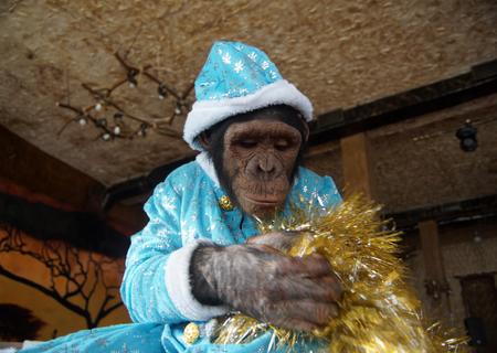 christmas costume: Monkey in christmas costume Stock Photo