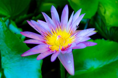 animal vein: lotus in water